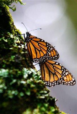 071204_butterflies_vmed_11a_widec1.jpg
